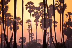 Sugar Plam-boomlandbouwbedrijf Royalty-vrije Stock Afbeeldingen