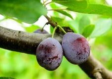 Sugar plums Stock Photos