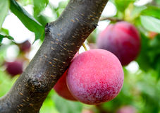Sugar plums on a tree branch Royalty Free Stock Images
