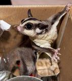 Sugar Possum Australian-Beuteltier in einem Kasten zu Hause, der ein bisschen spielt Lizenzfreies Stockfoto