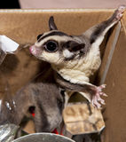 Sugar Possum Australian marsupial in a box at home playing kinda Royalty Free Stock Photo