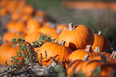 Sugar pumpkins Stock Images
