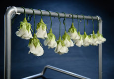 Sugar Roses. Row of hand made sugar roses, hanging on a rack, waiting to be used as decoration on a wedding cake Stock Photo