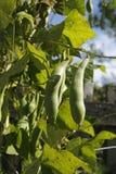 Sugar Snap Pea-installatie in de tuin Stock Foto's