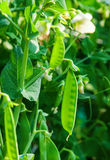 Sugar snap peas royalty free stock image