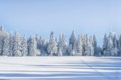 Sugar Trees Fotografering för Bildbyråer