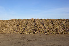 Sugarbeet Fotografia Royalty Free