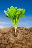 Sugarbeet crescente Imagens de Stock Royalty Free