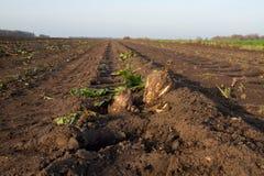 Sugarbeet on empty field stock image