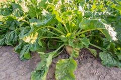 Sugarbeet korzeń r stronniczo nad ziemia Fotografia Royalty Free