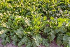 Sugarbeet rośliny widzieć od above Zdjęcia Stock
