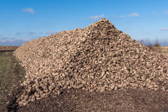 Sugarbeet Stock Images