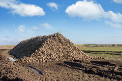 Sugarbeet Royalty Free Stock Images