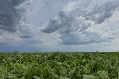 Sugarbeet upraw pole, rolniczy krajobraz Obrazy Stock
