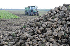 Sugarbeets. Big harvest machine on the sugar beet Royalty Free Stock Images