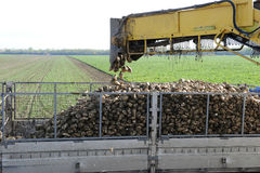 Sugarbeets Stock Photography