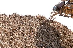 Sugarbeets raccolti Fotografia Stock Libera da Diritti