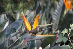 Sugarbird femelle Walter Sisulu National Botanical Garden Image libre de droits