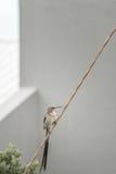 Sugarbird at Holiday Home royalty free stock photos