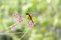Sugarbird ou otário Fotografia de Stock Royalty Free