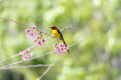 Sugarbird or sucker. Bird and sakura in spring, its quarter bird and live tropical Royalty Free Stock Photography