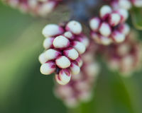 Sugarbush Rhus ovata Flower Buds. Red and white flower buds from sugarbush, a shrub in the Sumac family common to Southern California chaparral royalty free stock photo