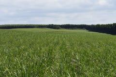 sugarcane fotografie stock