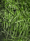The Sugarcane Stock Images