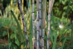 sugarcane imagem de stock royalty free