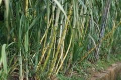 sugarcane fotos de stock