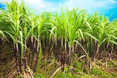 sugarcane Royaltyfria Foton