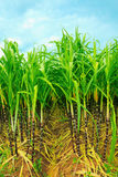 Sugarcane Stock Photography