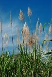 sugarcane royaltyfri foto