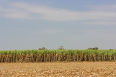 Sugarcane. Sugarcane is grown for sugar production royalty free stock photo