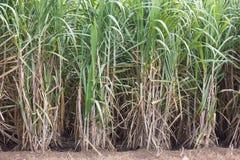 Sugarcane. Sugarcane for sugar and renewable energy Stock Image