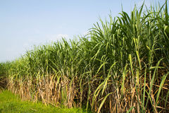 Sugarcane. Agriculture cane environment farm on blue sky Stock Photo