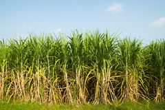 Sugarcane. Agriculture cane environment farm on blue sky Royalty Free Stock Photography