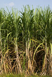 Sugarcane. Agriculture cane environment farm on blue sky Stock Image