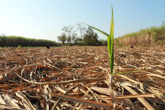 sugarcane fotografia royalty free