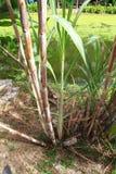 sugarcane arkivbild