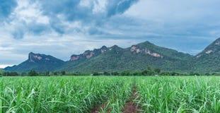 sugarcane fotos de archivo libres de regalías