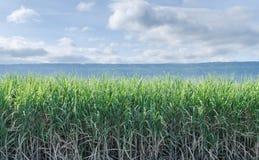 sugarcane Image stock