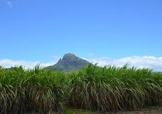 sugarcane Foto de archivo