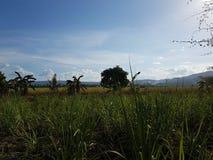 sugarcane Obrazy Royalty Free