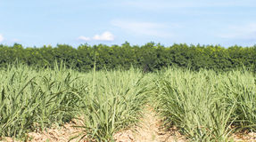 Sugarcane. Australian agriculture Sugar cane plantation closeup with blue sky Royalty Free Stock Photo