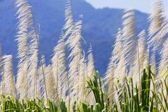 Sugarcane on a background of mountains. Tips of sugar cane leaves on a background of mountains (Costa rica Stock Photo