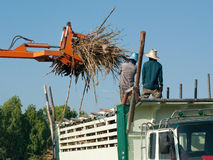 Sugarcane being loaded onto a truck Royalty Free Stock Images