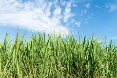 Sugarcane Royalty Free Stock Image