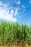 Sugarcane Stock Photo