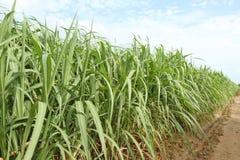 Sugarcane Royalty Free Stock Photography
